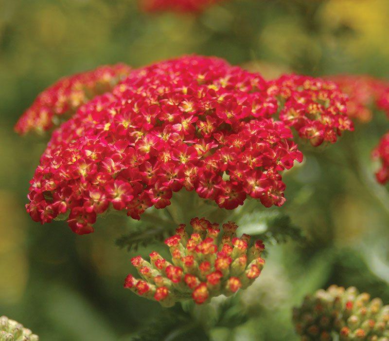 strawberry seduction yarrow achillea millefolium ftimg