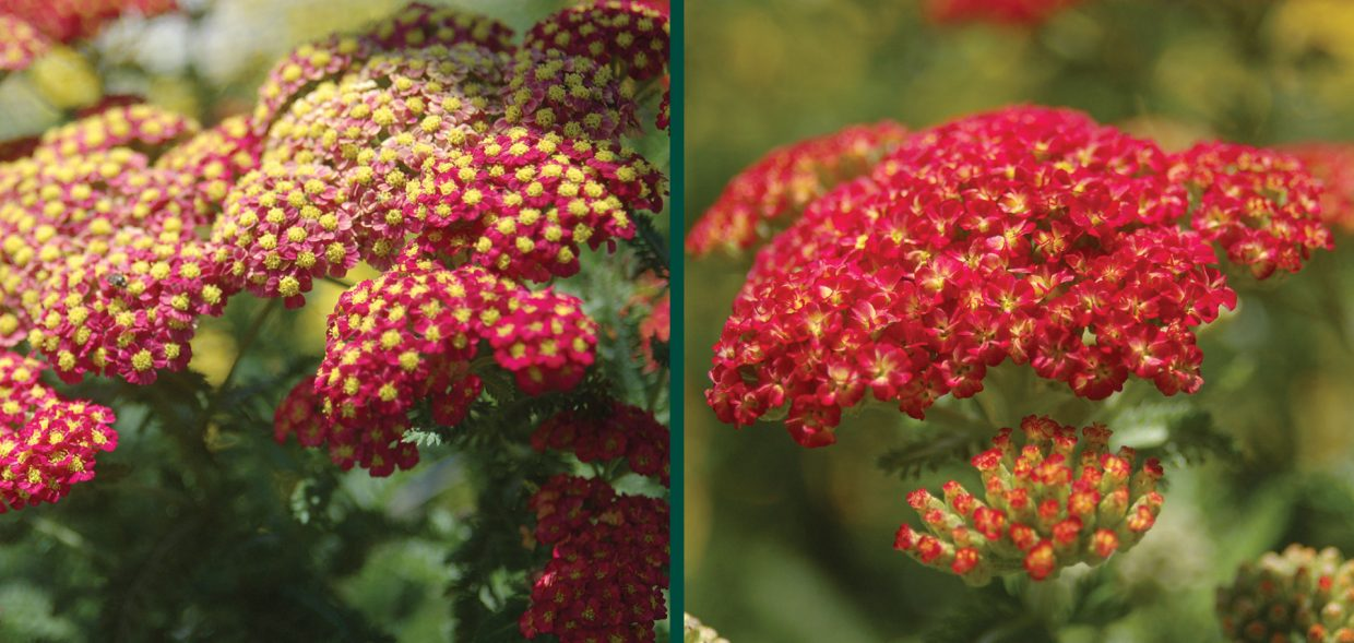 strawberry seduction yarrow achillea millefolium