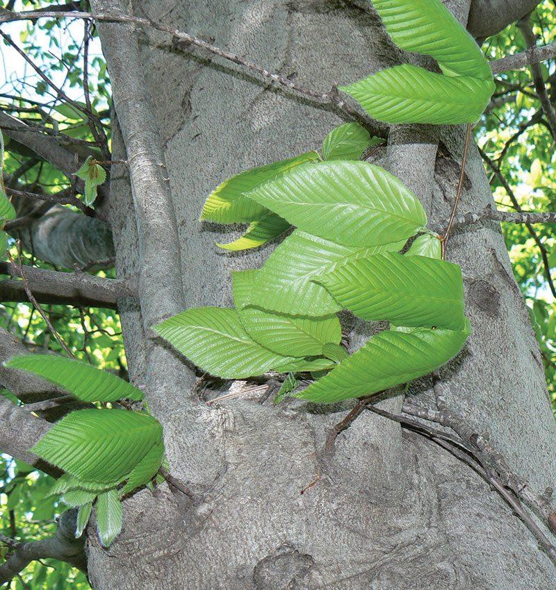 american-beech-fagus-grandifolia-ftimg