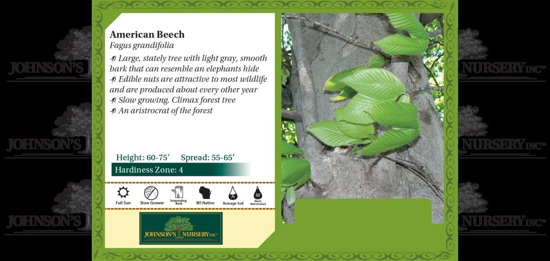 american beech fagus grandifolia benchcard