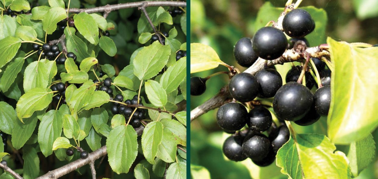 battling buckthorn fruits