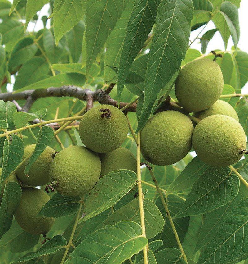 black walnut toxicity ftimg