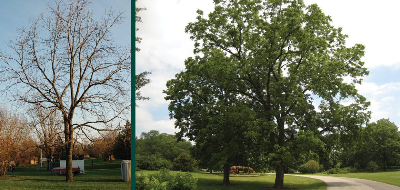 black walnut toxicity juglans nigra