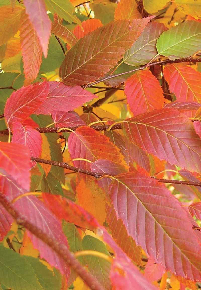 choosing natives carpinus caroliniana fall color ftimg