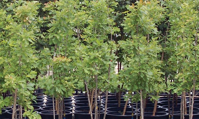 Container Grown Trees Knowledgebase Johnson S Nursery