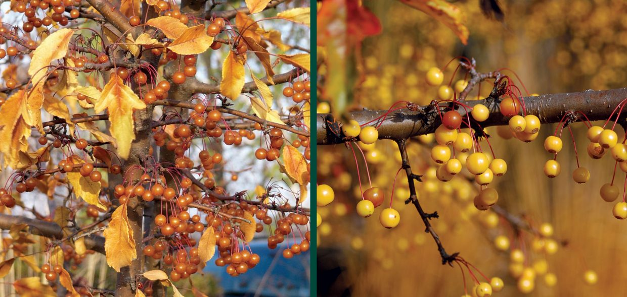 crabapples for birds malus transitoria golden raindrops