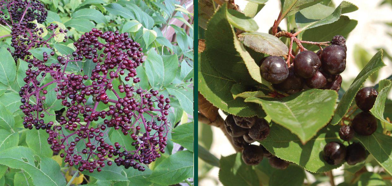 delicious landscapes elderberry sambucus glossy black chokeberry aronia melanocarpa