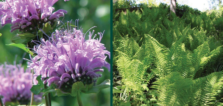 delicious landscapes wild bergamot monarda fistulosa ostrich fern matteuccia struthiopteris