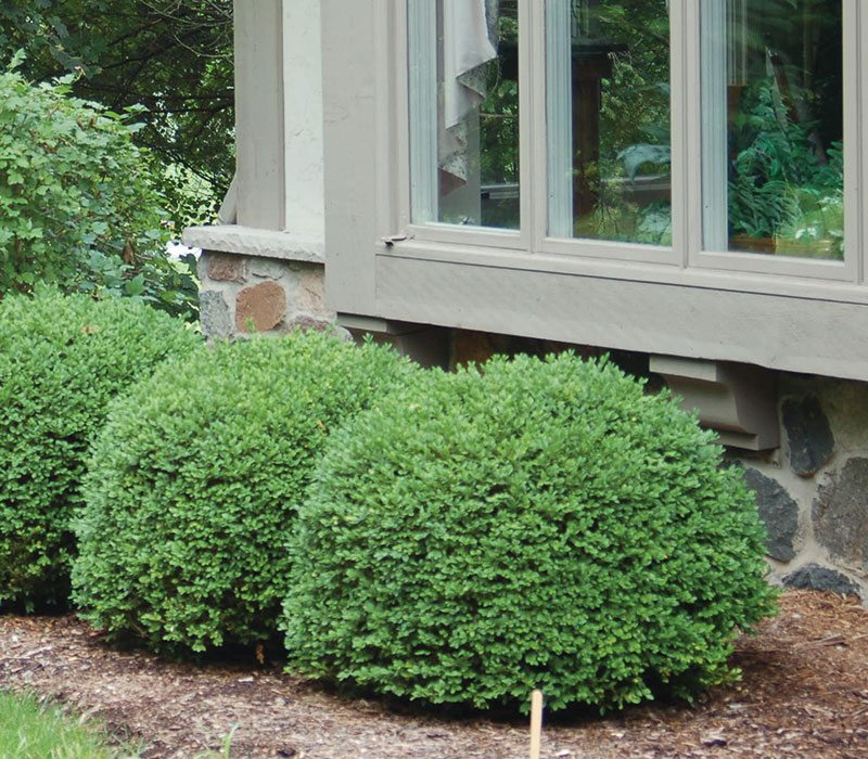 foundation shrub alternatives ftimg