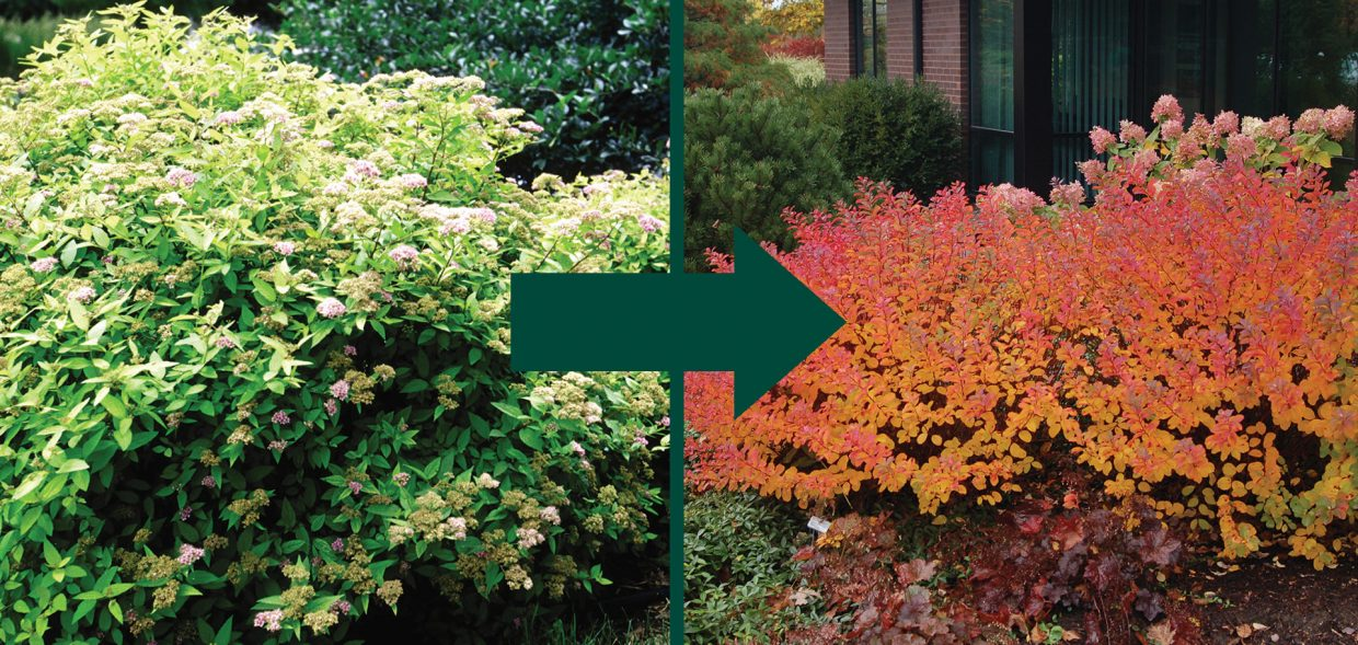 foundation shrub goldmound tor spirea