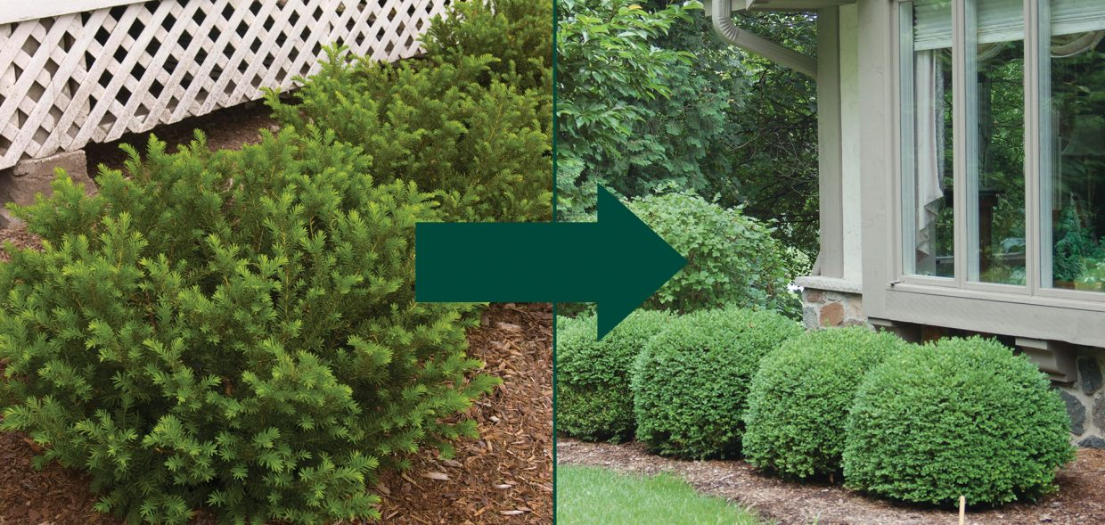 foundation shrub taxus buxus