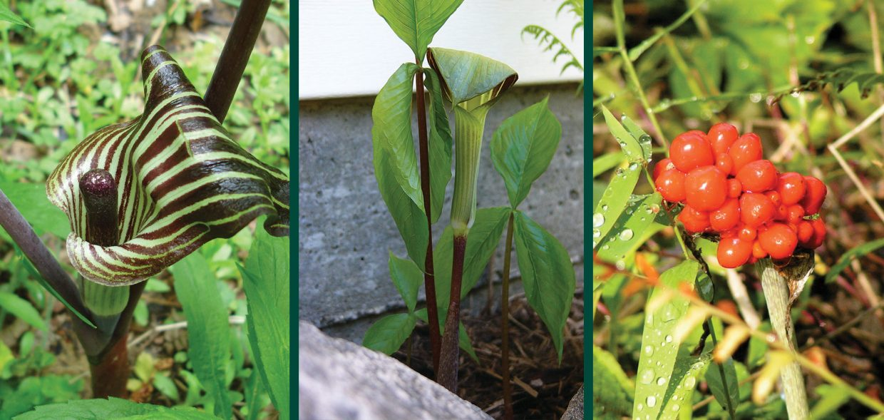 gnarly natives arisaema triphyllum jack in the pulpit