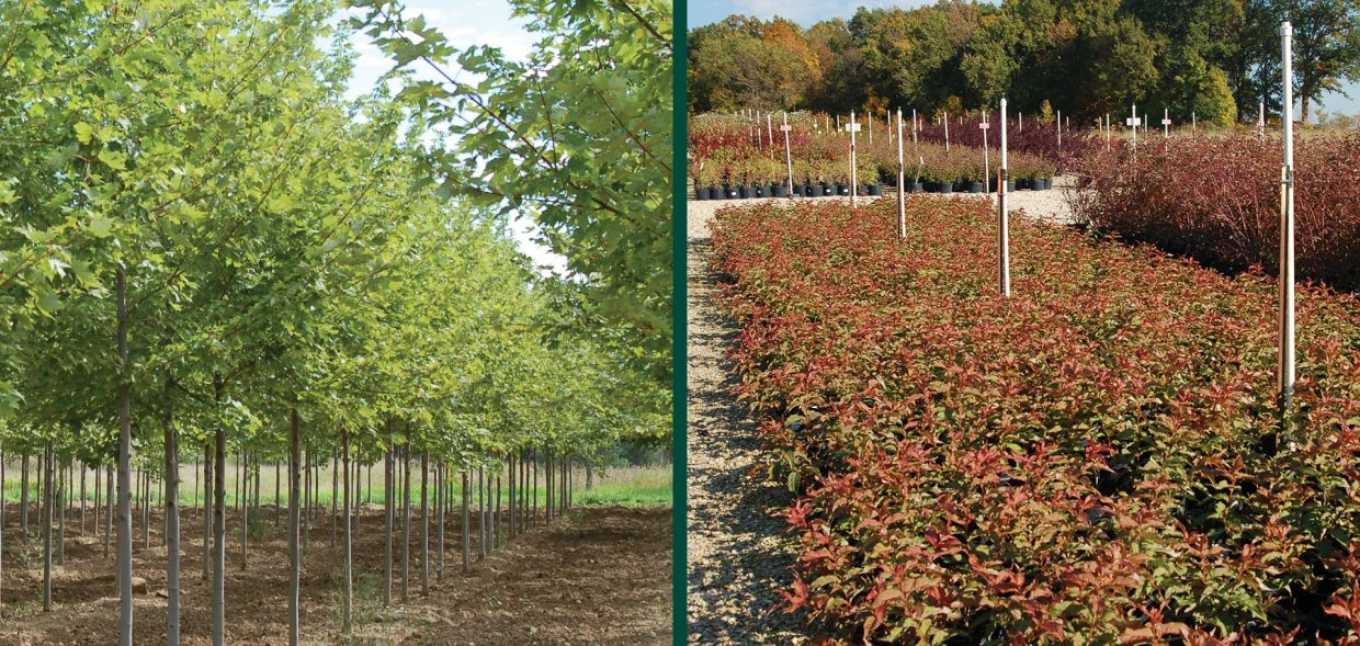 grow agreements acer freemanii autumn blaze diervilla lonicera jewel container