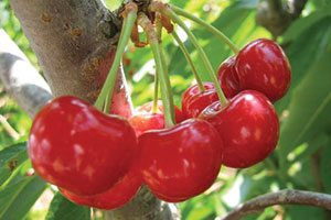mesabi cherry prunus catalog