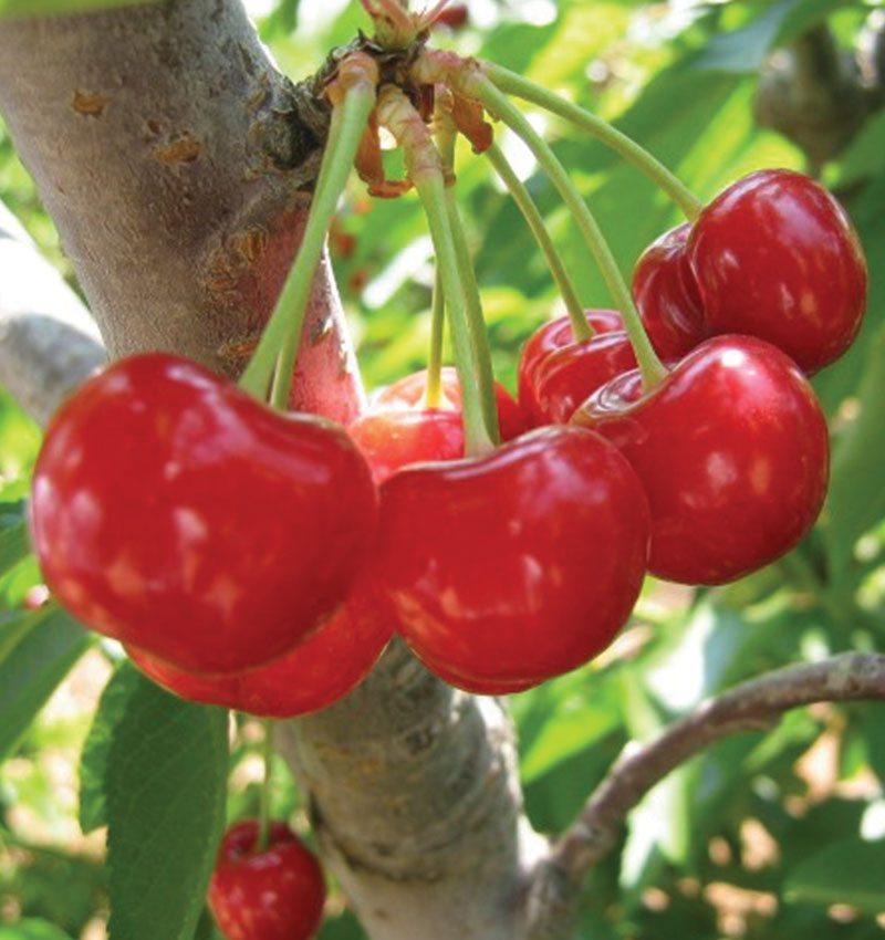 mesabi cherry prunus ftimg
