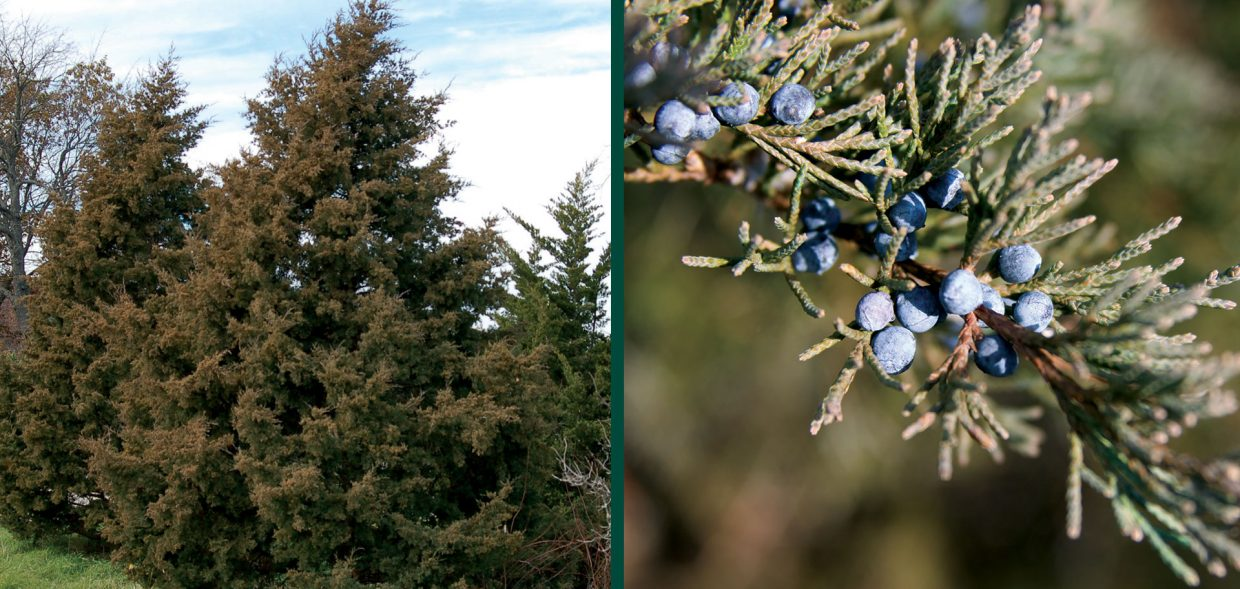 native junipers juniperus virginiana eastern red cedar