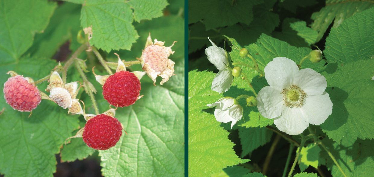 naughty natives rubus parvifolius thimbleberry