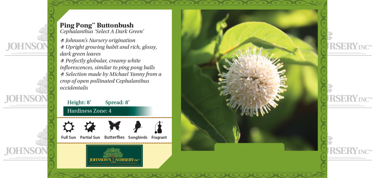 ping pong buttonbush cephalanthus occidentalis select a dark green benchcard
