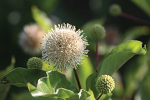 ping pong buttonbush cephalanthus occidentalis select a dark green catalog
