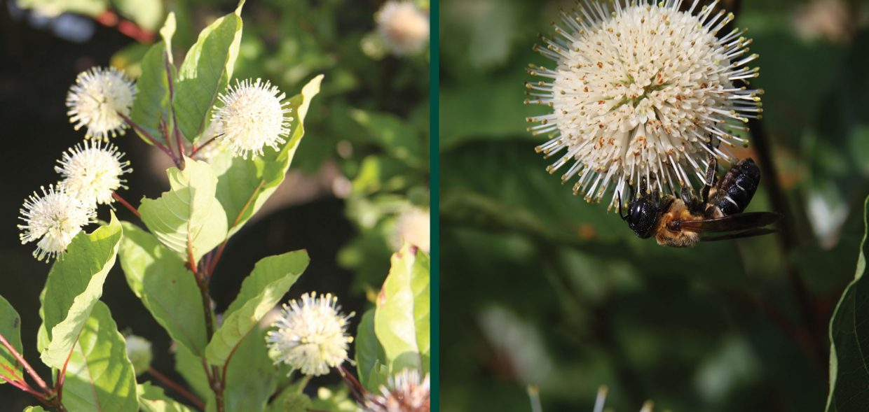 ping pong buttonbush cephalanthus occidentalis select a dark green fruit