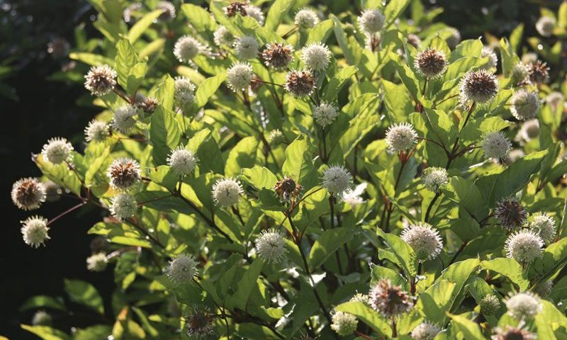 ping pong buttonbush cephalanthus occidentalis select a dark green ftimg