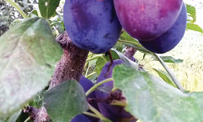 plum tree harvest 2015 ftimg