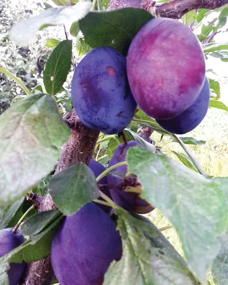 plum tree harvest 2015 ftimg