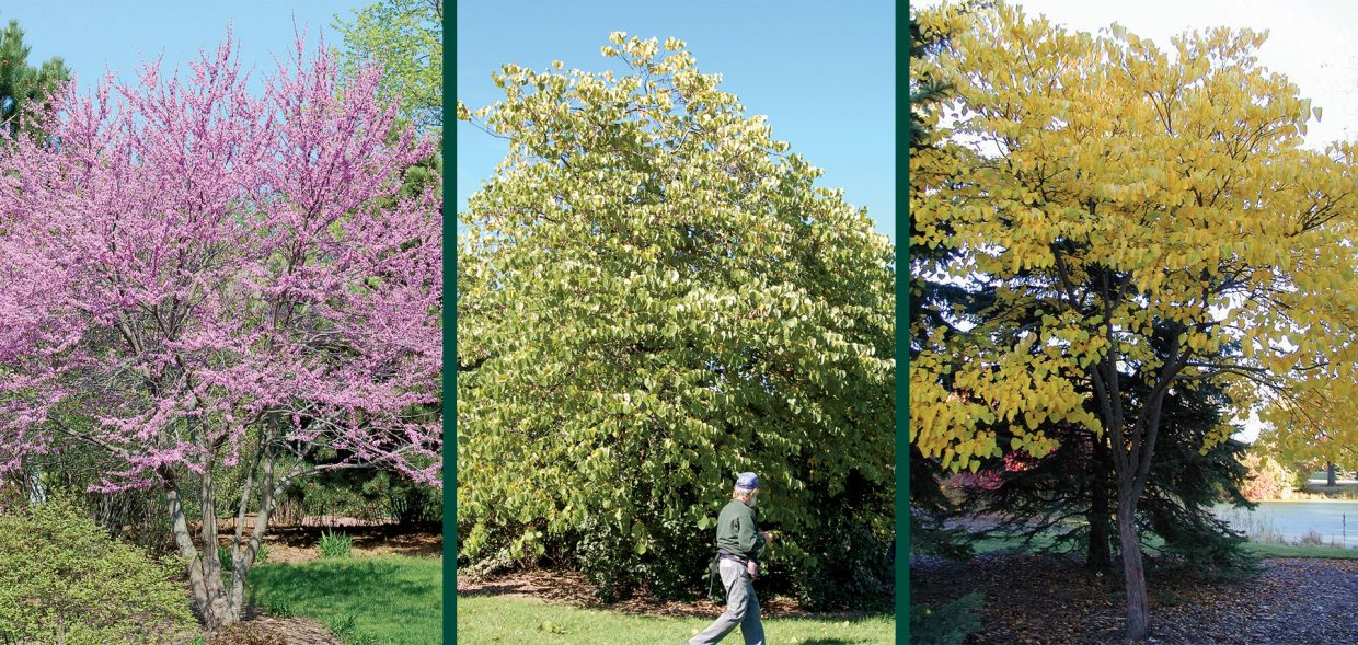 Redbud In Wisconsin Cercis Canadensis Spring Flower Summer Foliage Fall Color