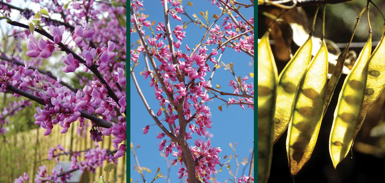 redbud in wisconsin cercis canadensis spring flowers and fruit