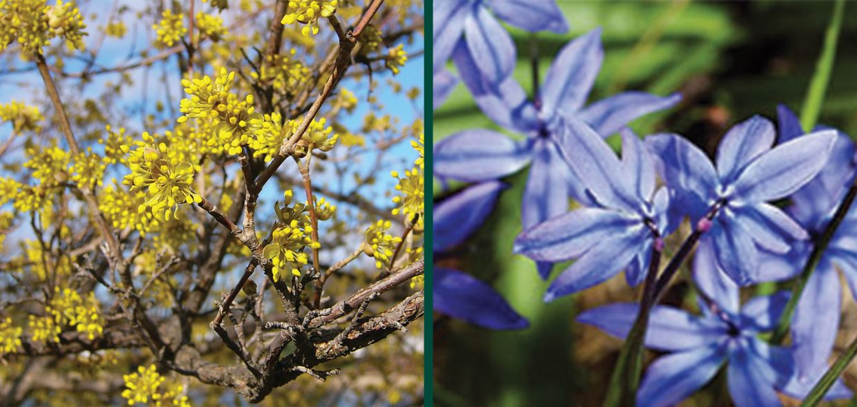 sporty-specimens-brewers-cornus-mas-blue-scilla