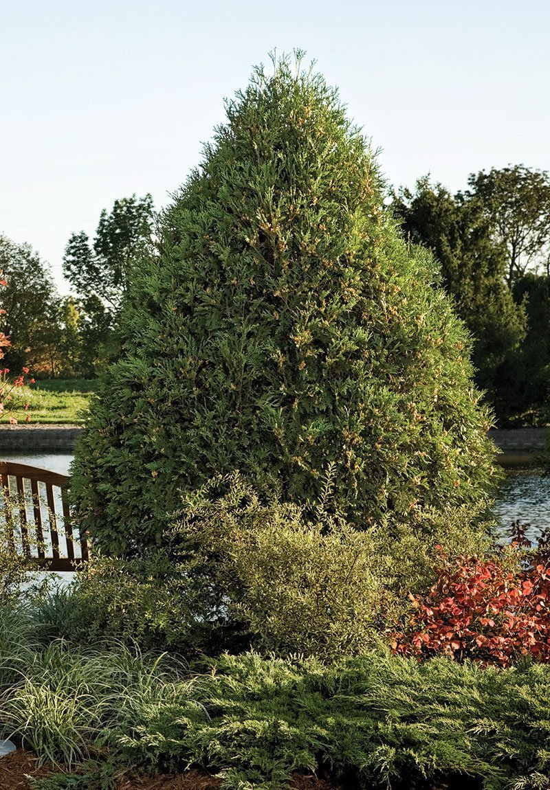 Technito arborvitae knowledgebase johnsons nursery