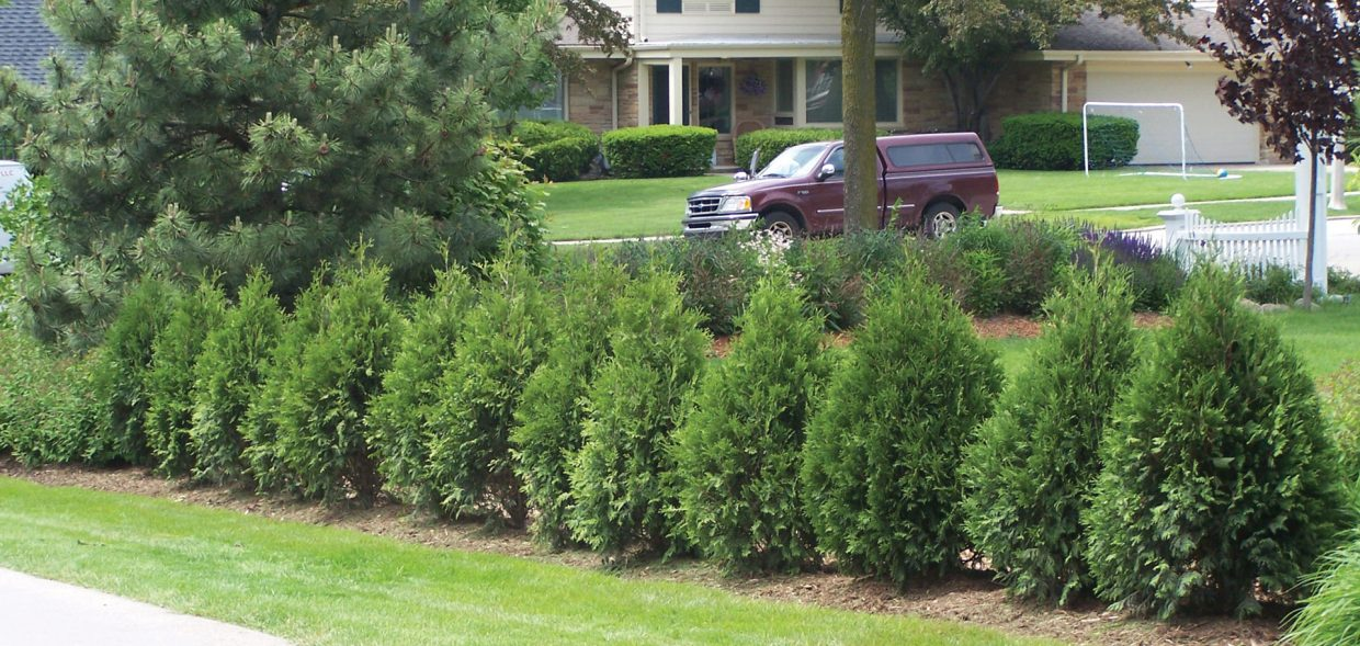 technito arborvitae thuja occidentalis bail john screen