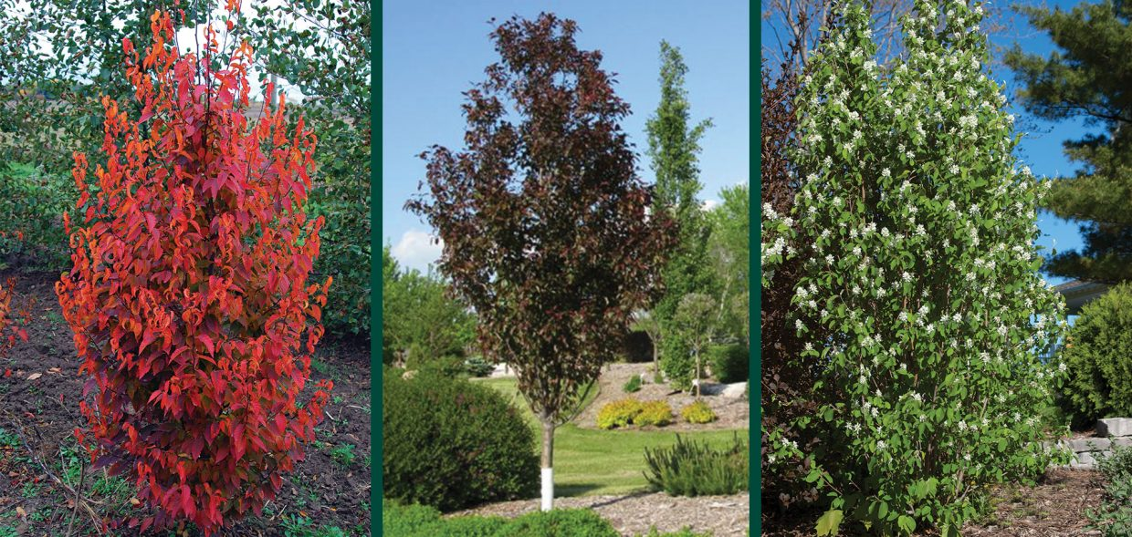 urban trees narrow space savers medium firespire musclewood gladiator crabapple standing ovation serviceberry