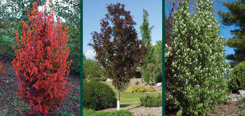 urban trees narrow space savers medium firespire musclewood gladiator crabapple standing ovation serviceberry