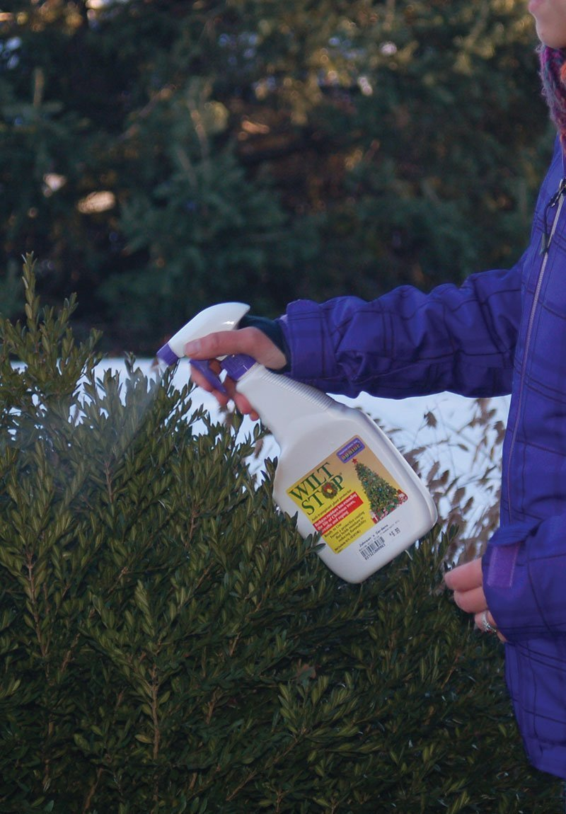 winterizing evergreens ftimg