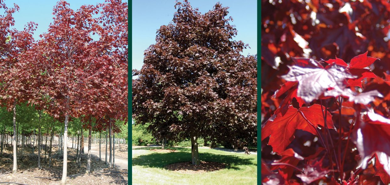 crimson king maple royal red maple acer platanoides norway maple crimson sunset maple leaves