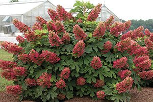 heading cuts method pruning shrubs catalog