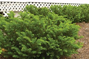 hedging pruning shrubs evergreens catalog