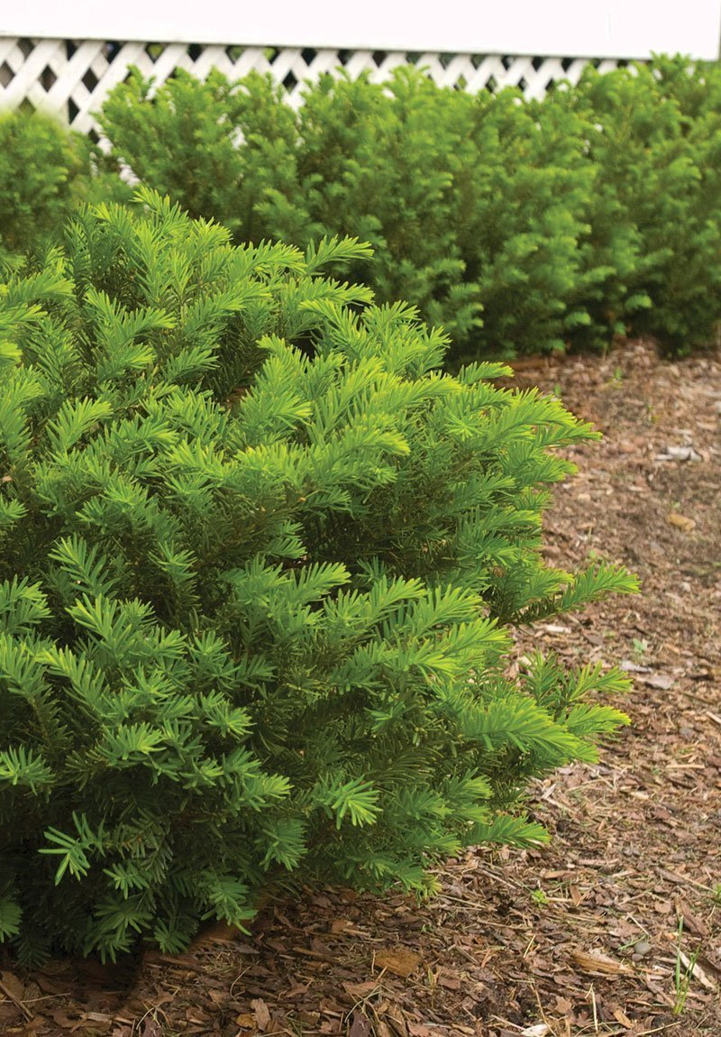 hedging pruning shrubs evergreens ftimg