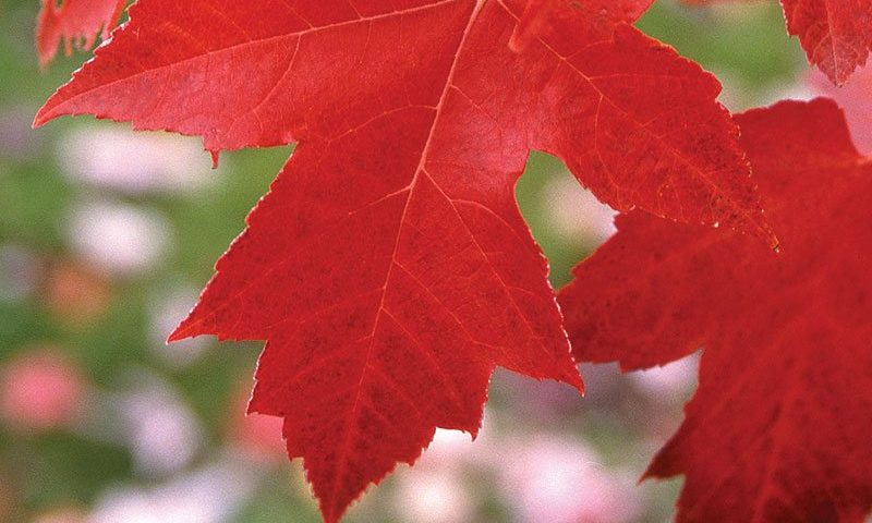 red maple acer rubrum freeman maple crimson king maple royal red maple