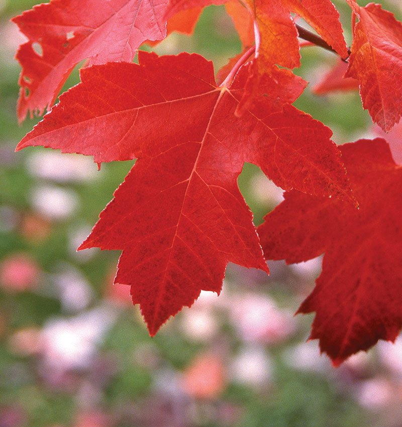 What S A Red Maple Anyway Knowledgebase Johnson S Nursery