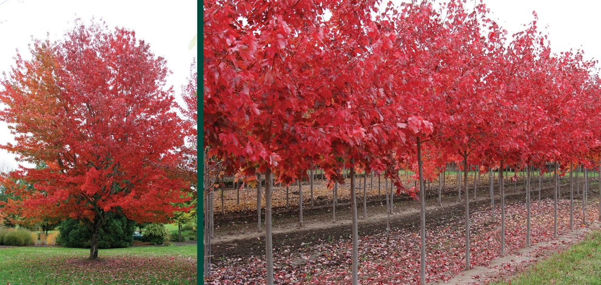 red maple acer rubrum swamp maple soft maple