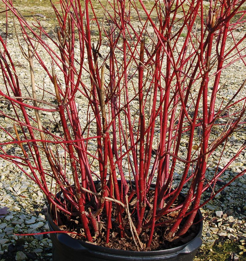 thinning cuts method pruning shrubs ftimg
