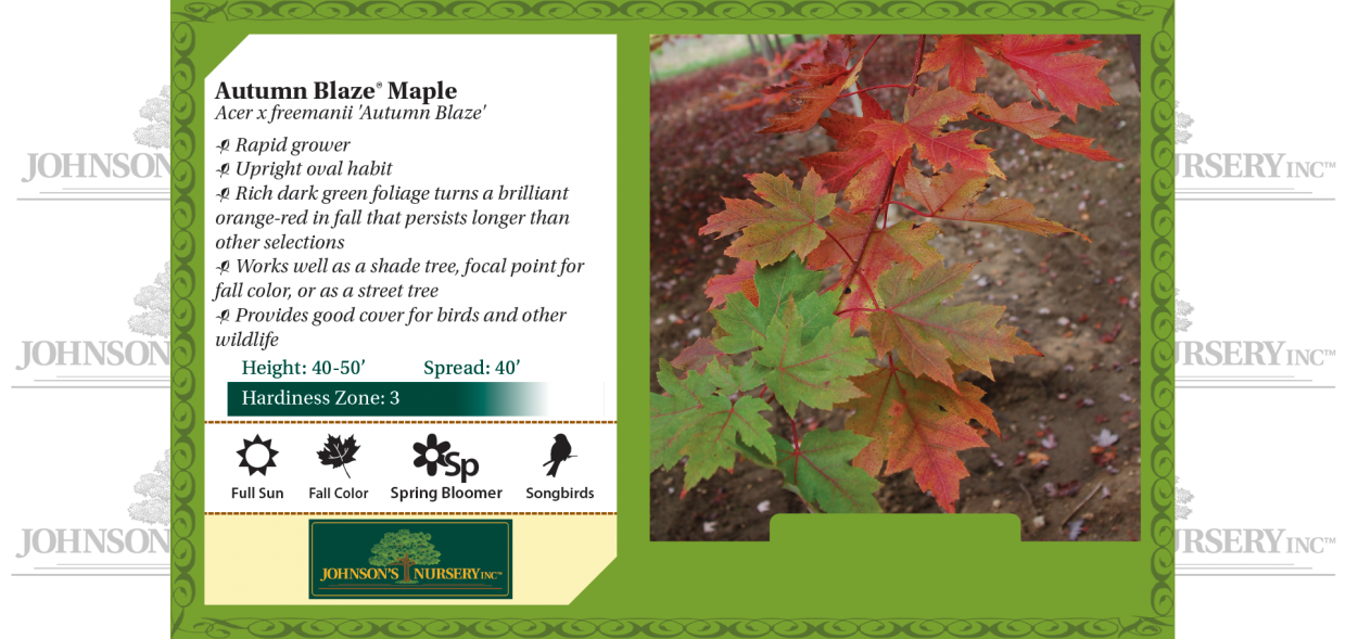 autumn blaze maple acer freemanii benchcard