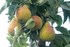 bartlett pear pyrus communis catalog