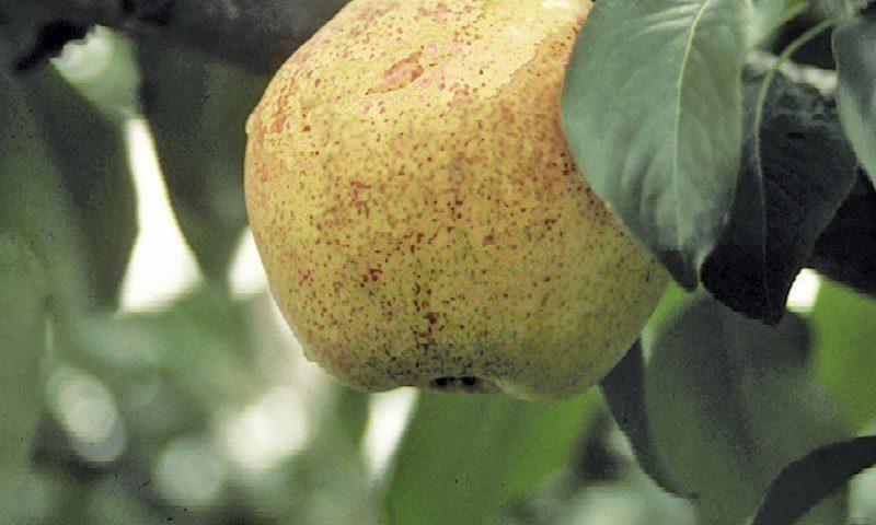 bartlett pear pyrus communis ftimg