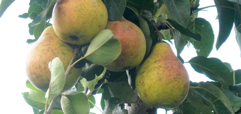 bartlett pear pyrus communis