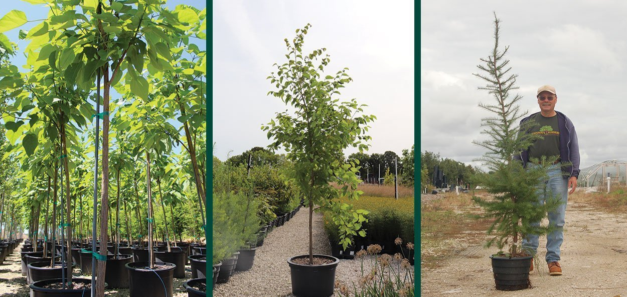 container grown trees salable catalpa yellow birch tamarack