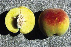 contender peach prunus persica catalog