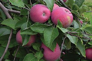 cortland apple malus domestica catalog